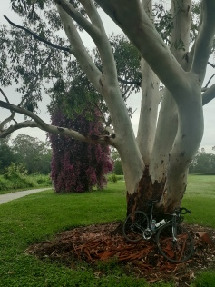 Magnificent gum and bougainvillia at Carindale
